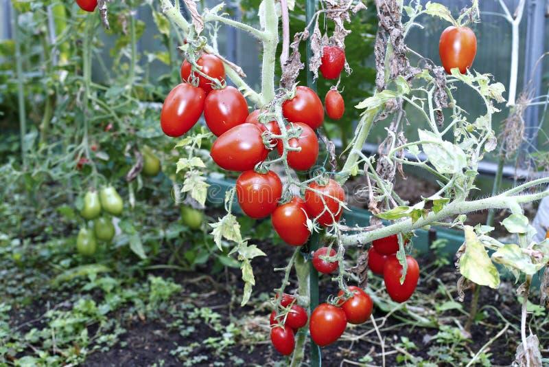 Rote Tomaten in einem Gewächshaus stockfoto