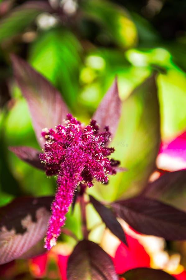 Rote tropische Blume in einem Garten in Guatemala stockfoto