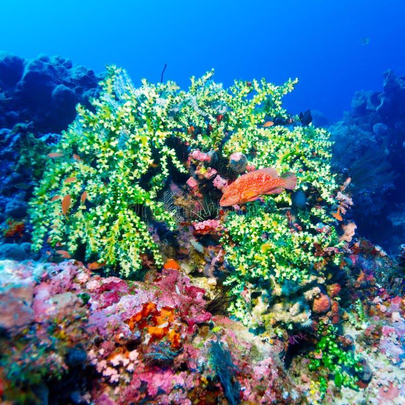Rote tropische Fische nähern sich Korallenriff lizenzfreie stockfotos