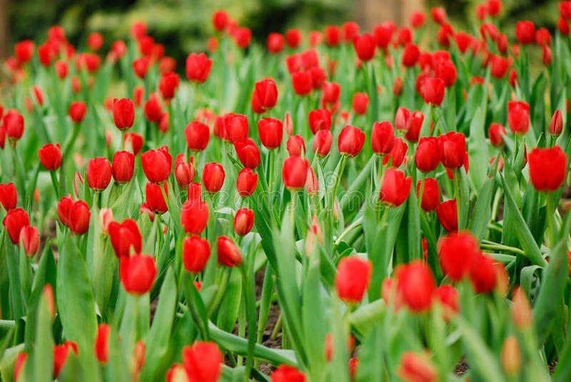 Rote Tulpe stockfotos