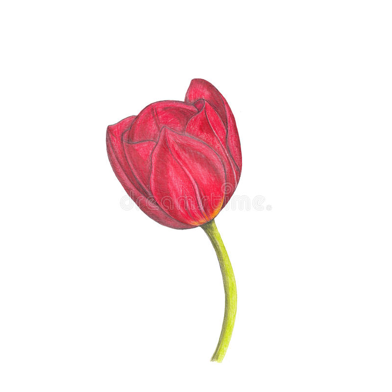 Rote Tulpe vektor abbildung