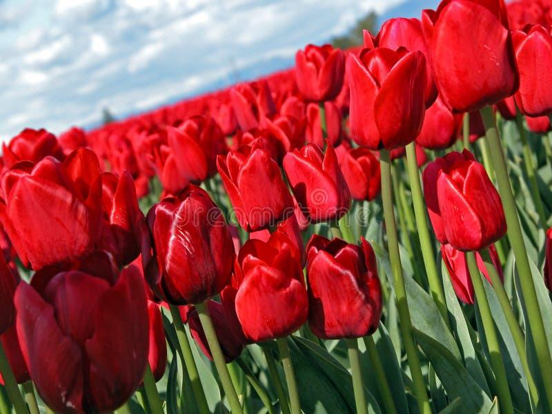 Rote Tulpe lizenzfreie stockbilder