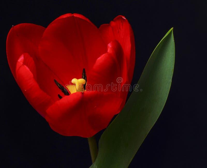 Rote Tulpe lizenzfreies stockbild