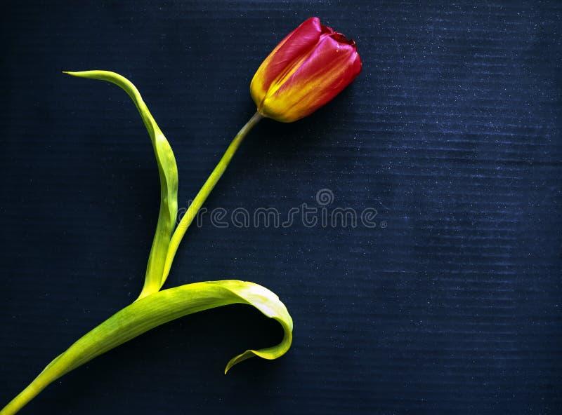 Rote Tulpe auf einem schwarzen Hintergrund eine empfindliche Tulpenblume mit den roten Blumenblättern und den hellgrünen Blättern stockbild