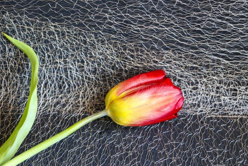 Rote Tulpe auf einem schwarzen Hintergrund eine empfindliche Tulpenblume mit den roten Blumenblättern und den hellgrünen Blättern lizenzfreie stockfotografie