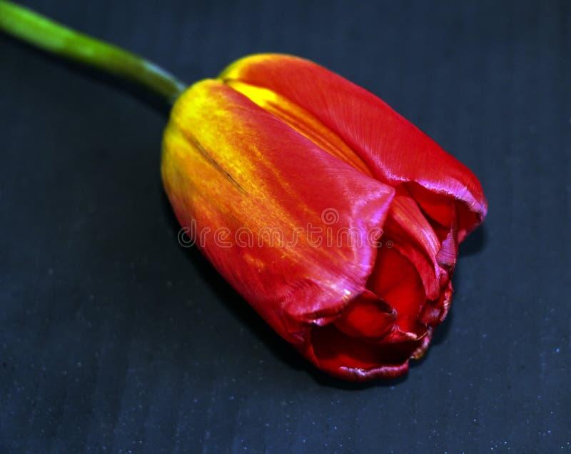 Rote Tulpe auf einem schwarzen Hintergrund eine empfindliche Tulpenblume mit den roten Blumenblättern und den hellgrünen Blättern stockbilder