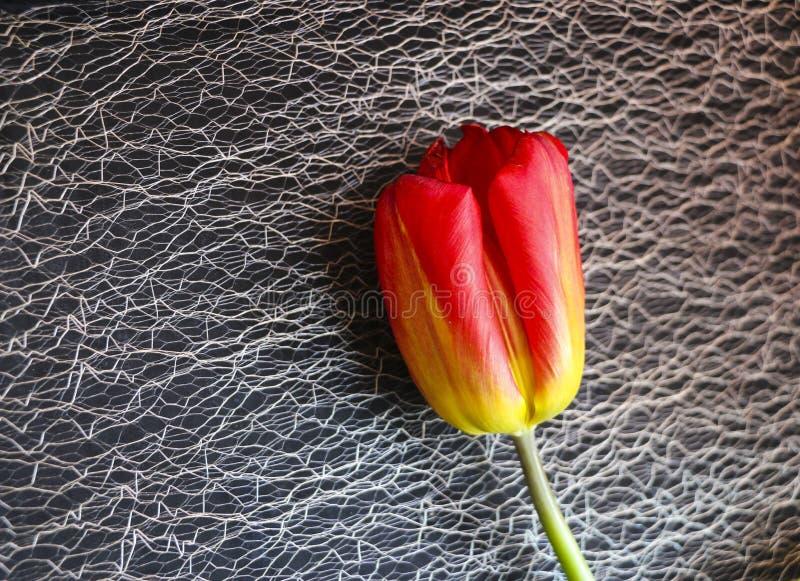 Rote Tulpe auf einem schwarzen Hintergrund eine empfindliche Tulpenblume mit den roten Blumenblättern und den hellgrünen Blättern stockfoto