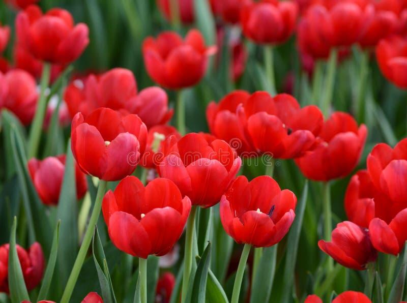 Rote Tulpe blüht am Park in Hanoi, Vietnam lizenzfreies stockbild