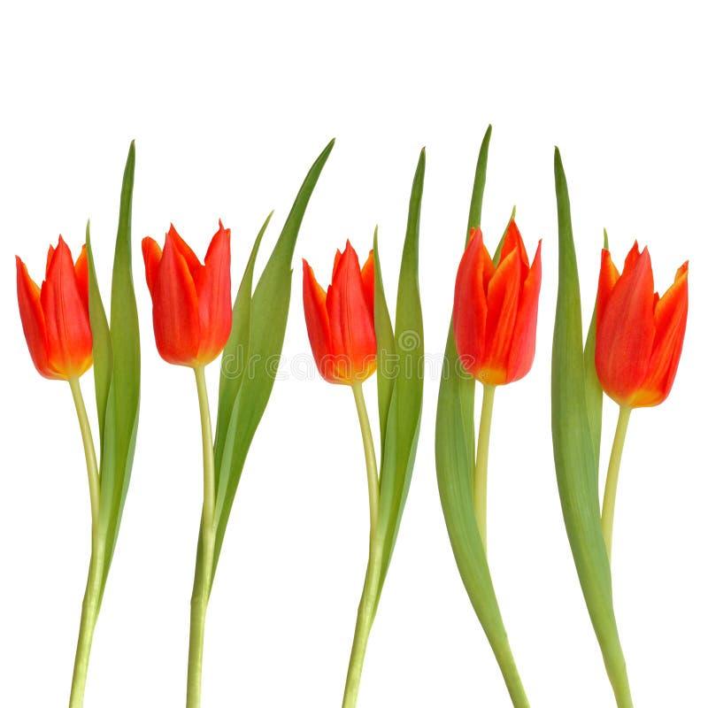 Rote Tulpe-Blumen-Schönheit stockfoto