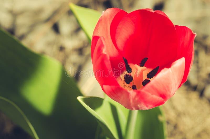 rote Tulpe der Feldblumen Frühlingshintergrund/schöne Naturszene mit blühender roter Tulpe, Nahaufnahme stockfoto