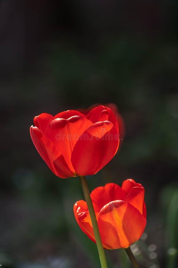Rote Tulpe in der Natur stockbild