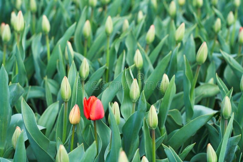 Rote Tulpe des ersten Frühlinges im Garten lizenzfreies stockfoto