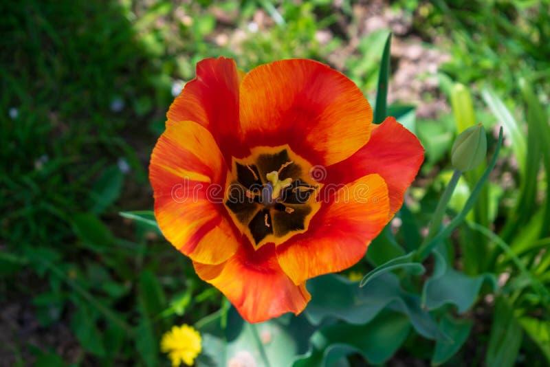 Rote Tulpe im Garten stockfotos