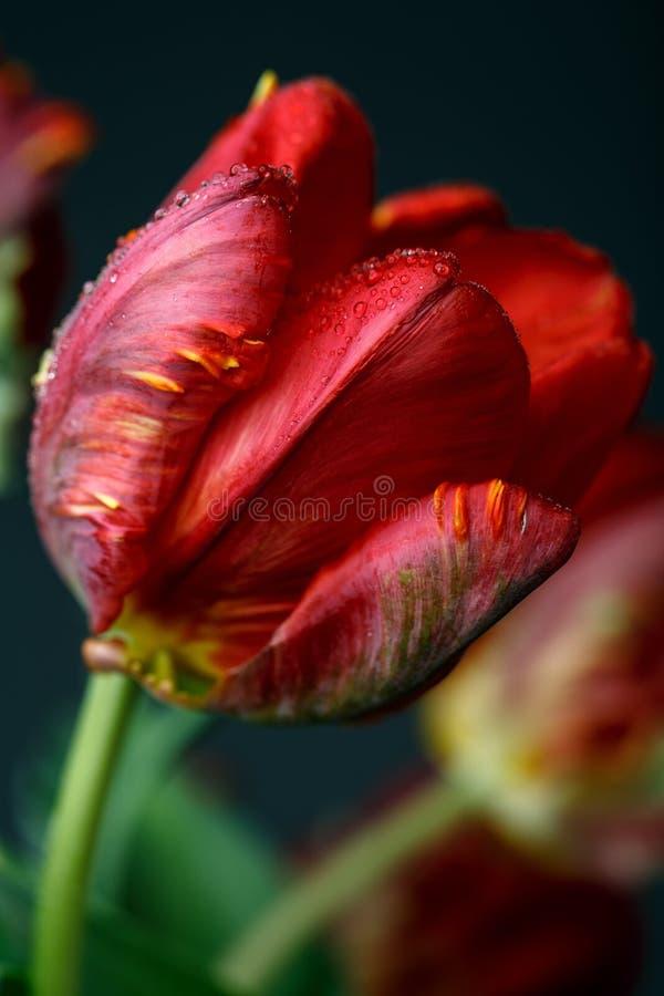 Rote Tulpe mit Tau lizenzfreie stockfotos