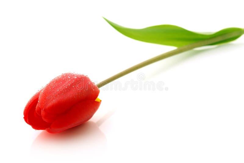 Rote Tulpe mit Tropfen des Taus lizenzfreie stockfotos