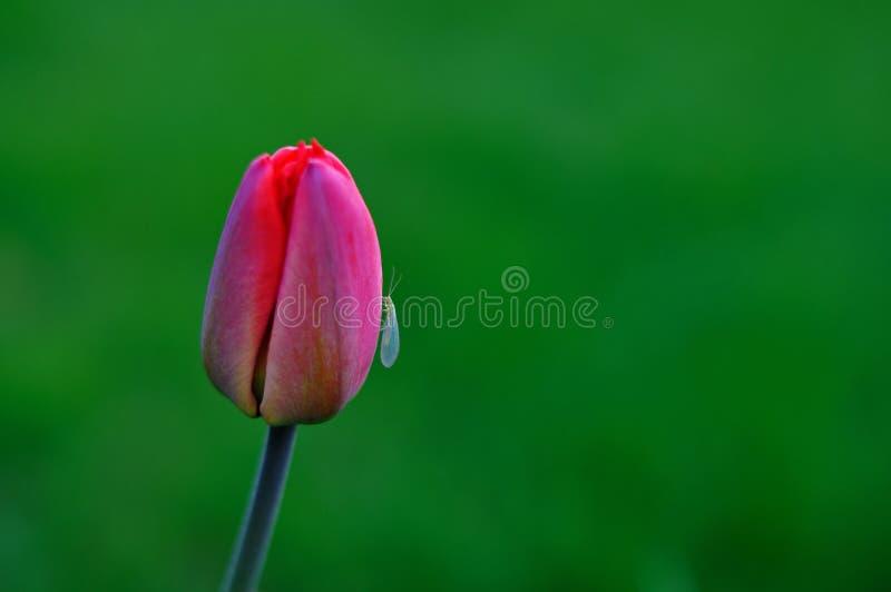 Rote Tulpe und Insekt auf ihm, grüner Hintergrund stockfotografie