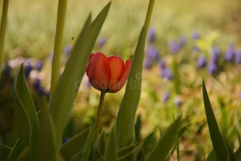 Rote Tulpe zwischen den Bl?ttern stockbild