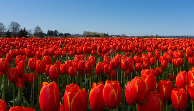 Rote Tulpefelder lizenzfreie stockfotos
