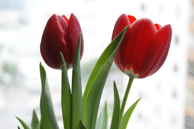 Rote Tulpen stockfotos