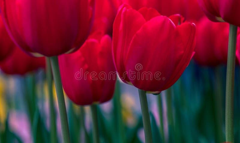 Download Rote Tulpen stockbild. Bild von blühen, blume, blüten - 90233661