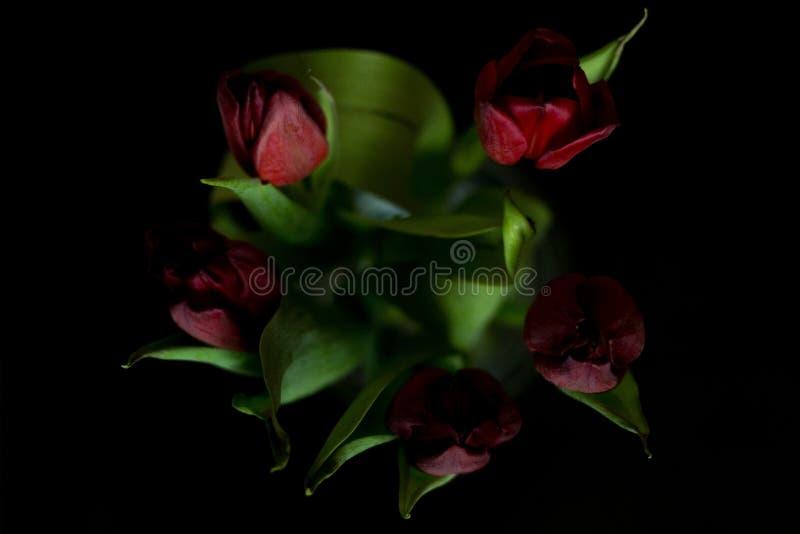 Rote Tulpen auf dem dunklen Hintergrund stockbilder