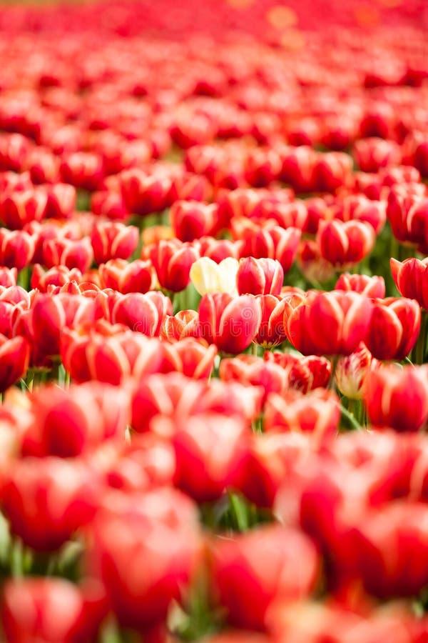 Download Rote Tulpen auf dem Gebiet stockfoto. Bild von hell, kopf - 90225264