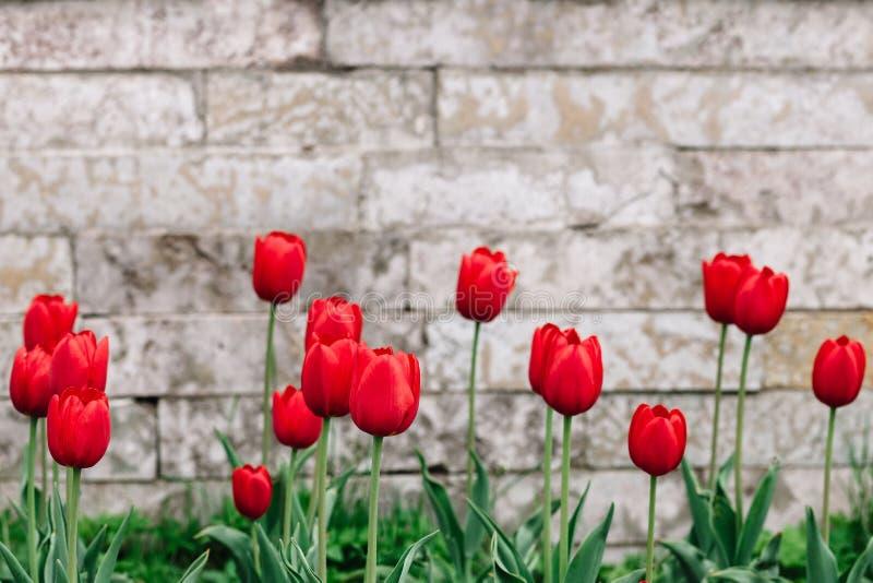 Rote Tulpen auf dem Hintergrund der antiken Maurerarbeit mit einem Platz für Text lizenzfreie stockfotos