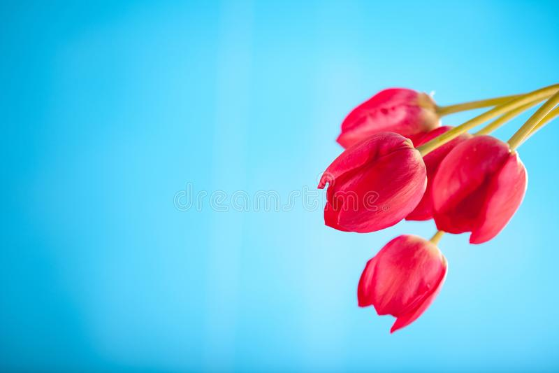 Rote Tulpen auf einem blauen Hintergrund stockfoto