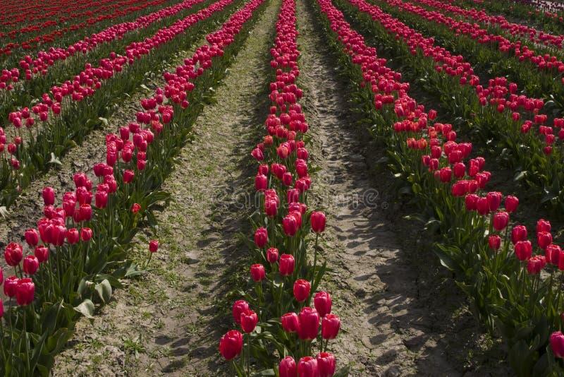 Rote Tulpen in einer Reihe lizenzfreies stockfoto