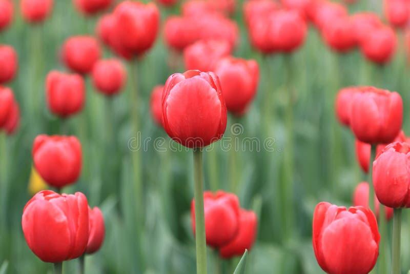 Rote Tulpen nach Fr?hlingsregen lizenzfreies stockbild