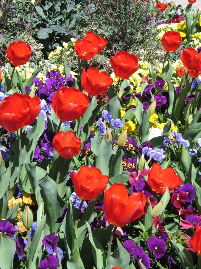 Rote Tulpen Und Pansies Stockfoto