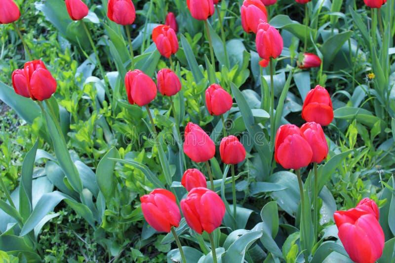 Rote Tulpenblüte im Frühjahr stockbild