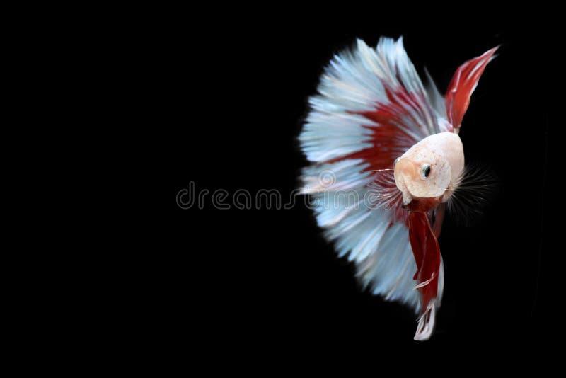 Rote und blaue Betta Siameses kämpfende Fische der Hälfte, beißende Fische Betta-splendens Winkels des Leistungshebels-kad von Th lizenzfreies stockfoto