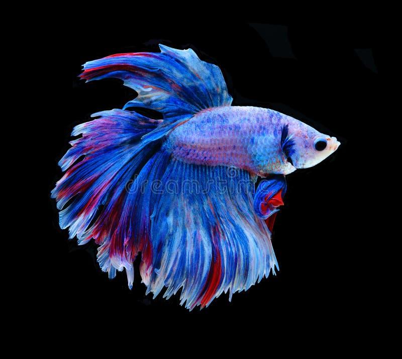 Rote und blaue siamesische kämpfende Fische, betta Fische lokalisiert auf Schwarzem lizenzfreies stockfoto