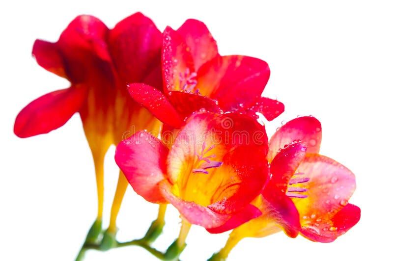 Rote und gelbe Blumen von Freesia lizenzfreie stockfotos