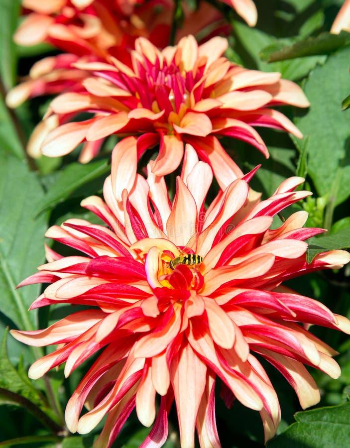 Rote und gelbe Dahlienblume lizenzfreies stockfoto