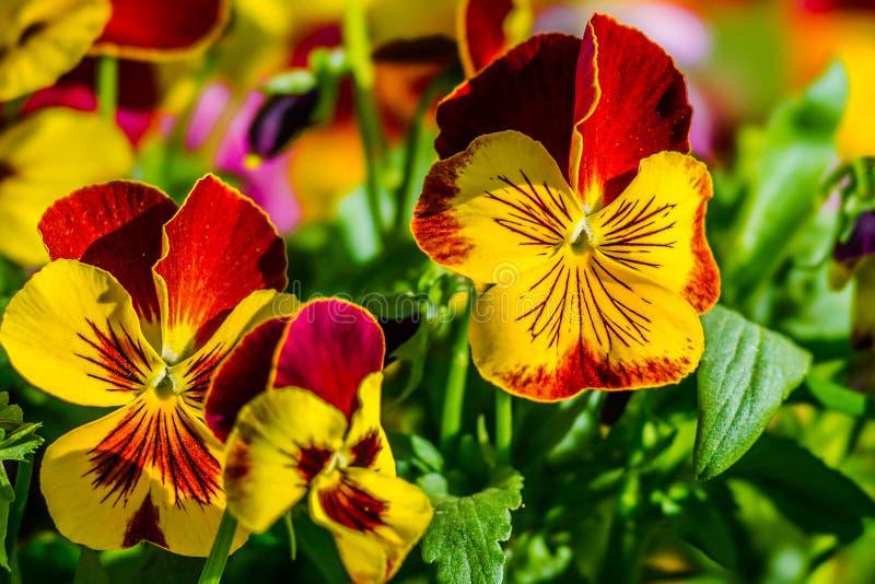Rote und gelbe Stiefmütterchenblumen stockbild