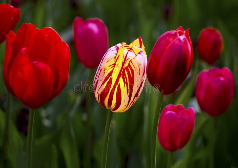 Rote und gelbe Tulpe stockfotos
