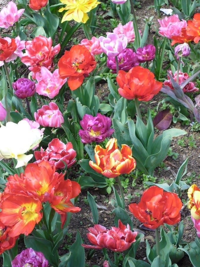 Rote und gelbe Tulpen stockbild
