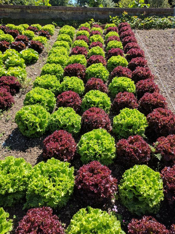 Rote und grüne Kopfsalate stockbilder