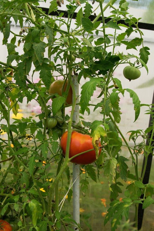 Rote und gr?ne Tomaten im Gew?chshaus lizenzfreie stockfotos