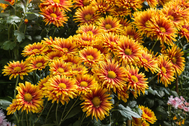 Rote und orange Chrysanthemenblumen in der Blüte stockfotografie