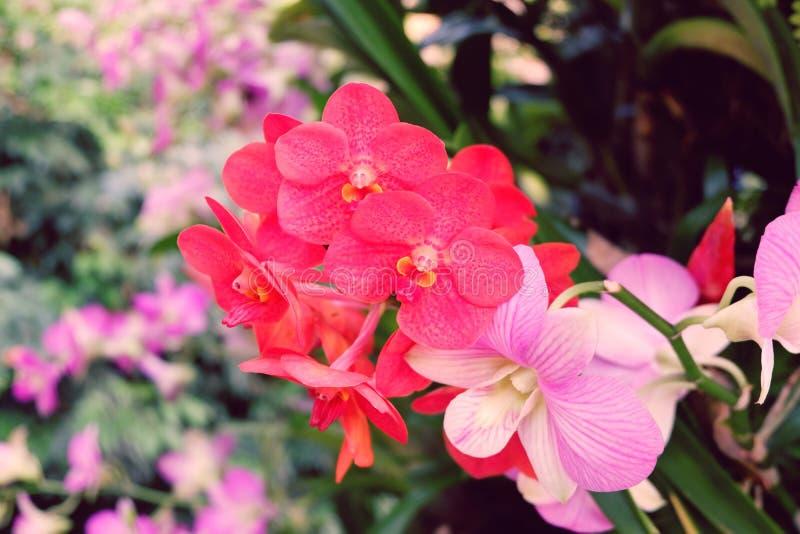 Rote und purpurrote Blume Orchidee lizenzfreie stockfotografie