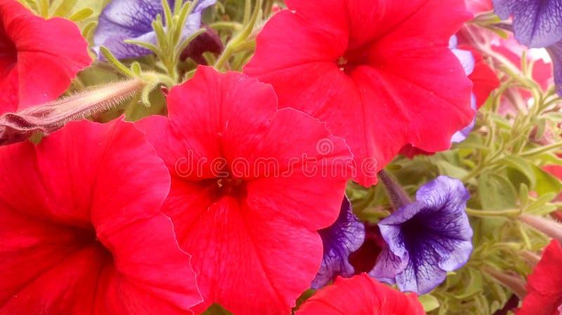 Rote und purpurrote Blumen lizenzfreies stockfoto