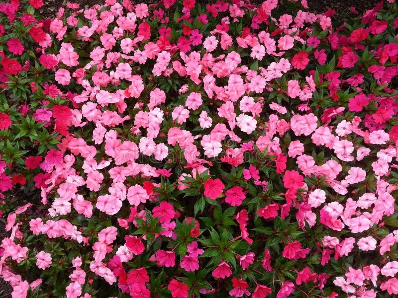 Rote und rosa Petaled Blumen lizenzfreies stockfoto