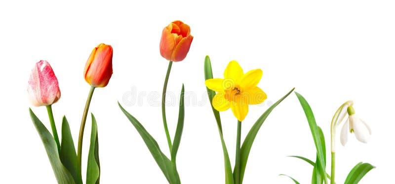 Rote und rosa Tulpen, gelbe Narzisse und Schneeglöckchen, lokalisiert auf Weiß lizenzfreie stockbilder
