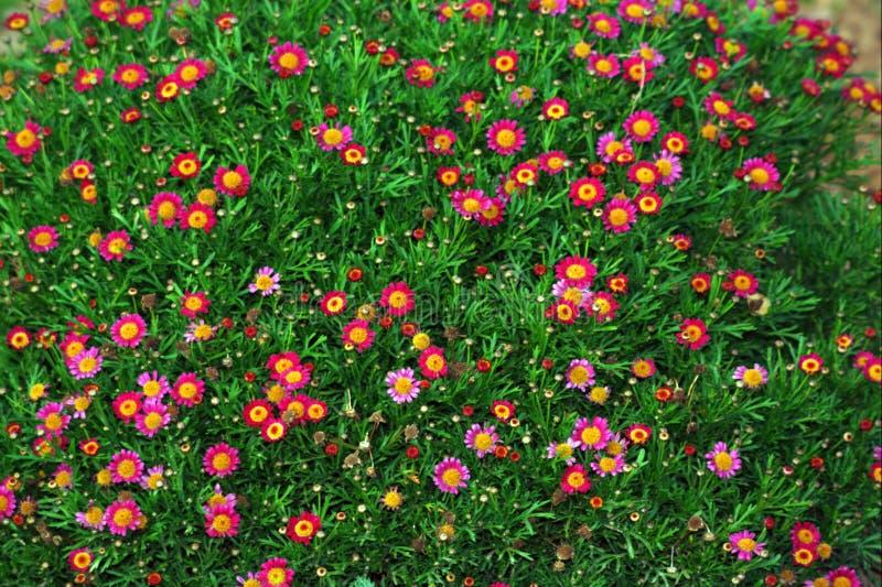 Rote und rosafarbene Gänseblümchen stockfotografie