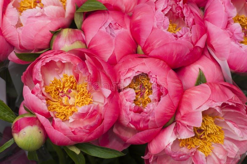 Rote und rosafarbene paeon Blumen stockfotografie