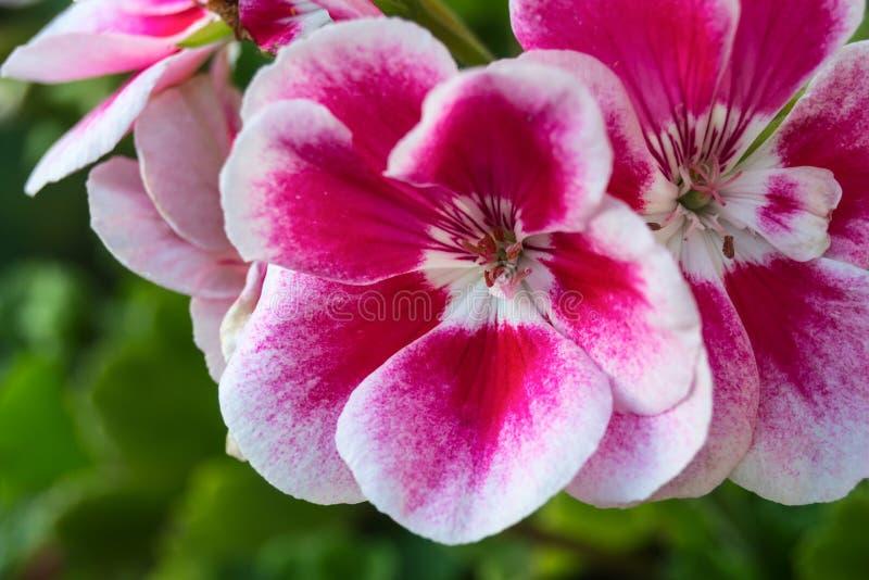 Rote und weiße Begonienblumen stockfotos