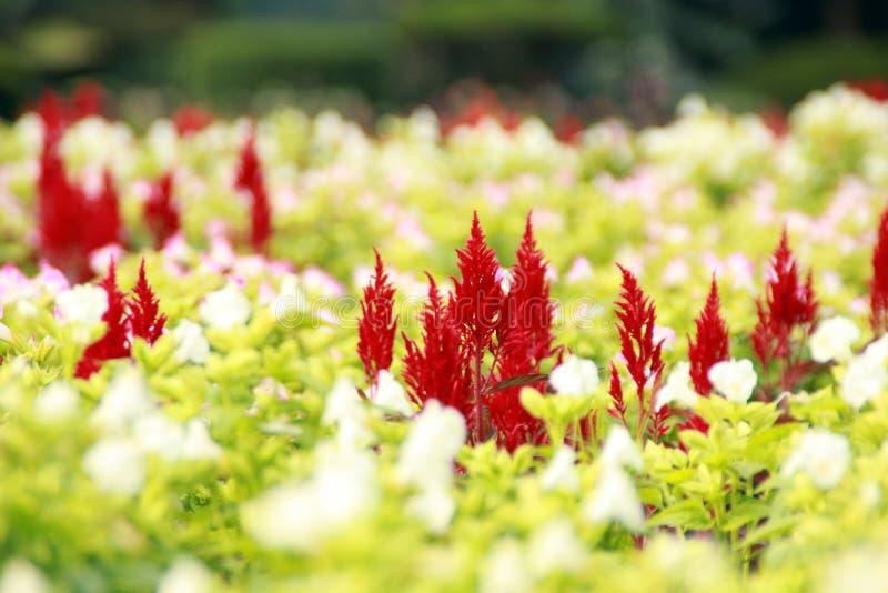 Rote und weiße Blume lizenzfreie stockfotografie